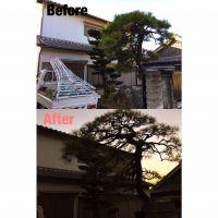 亀山市剪定|松の剪定.槇の刈り込み作業
